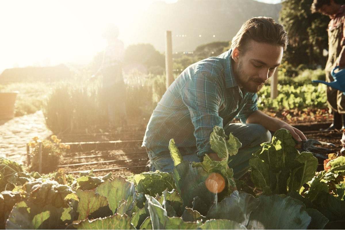 A photo of a man in a checked shirt out on an allotment picking vegetables.