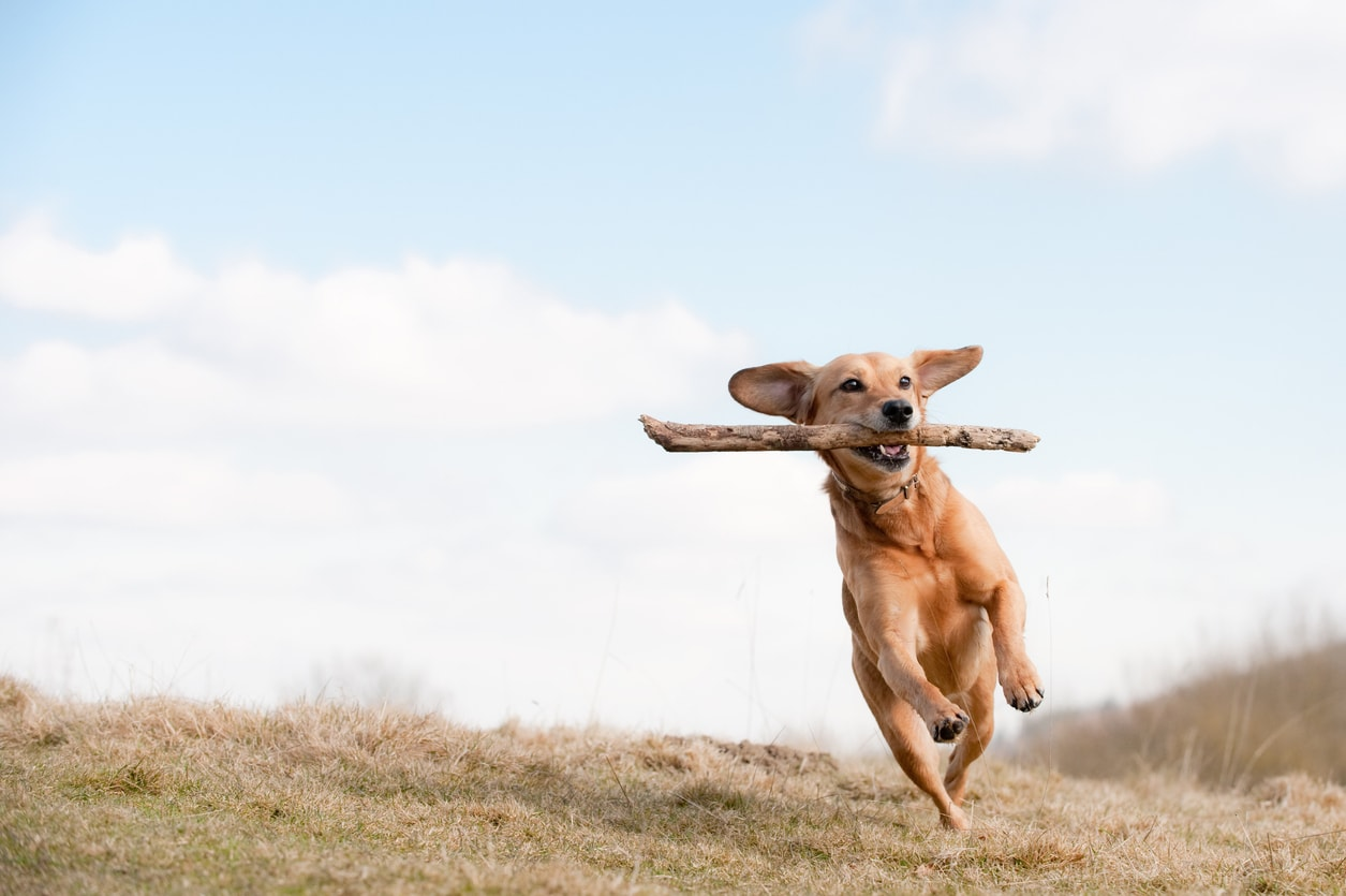 Image of a dog jumping to catch a stick