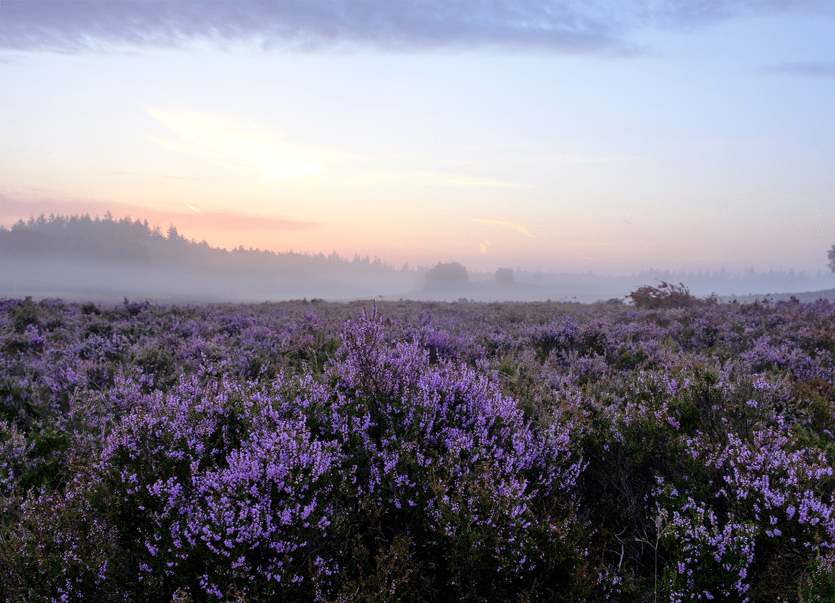 A photo of a lavender field taken at dawn. The hills in the background are slightly out of focus.